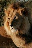 Großer männlicher afrikanischer Löwe stockbilder