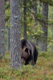 Großer männlicher Bär Stockfoto