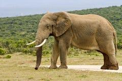 Großer männlicher Elefant muss herein, stehend im raod Lizenzfreie Stockbilder