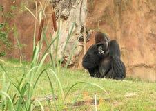 Großer männlicher Gorilla, der auf Gras sitzt Stockfotografie