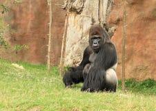 Großer männlicher Gorilla, der auf Gras sitzt Lizenzfreie Stockbilder