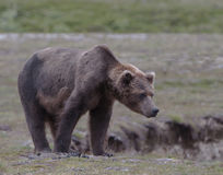 Großer männlicher Grizzlybär Lizenzfreie Stockfotos