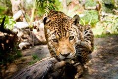 Großer männlicher Jaguar, der in Richtung zur Kamera springt Stockbild