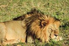 Großer männlicher Löwe, der auf einer afrikanischen Savanne während des Sonnenuntergangs niederlegt Stockbild