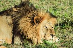 Großer männlicher Löwe, der auf einer afrikanischen Savanne während des Sonnenuntergangs niederlegt Stockfotos