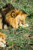 Großer männlicher Löwe, der auf einer afrikanischen Savanne während des Sonnenuntergangs niederlegt Lizenzfreie Stockfotografie