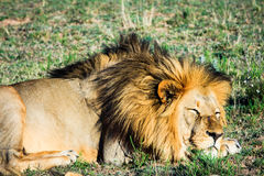 Großer männlicher Löwe, der auf einer afrikanischen Savanne während des Sonnenuntergangs niederlegt Stockfoto