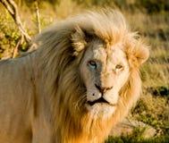 Großer männlicher Löwe, der auf einer afrikanischen Savanne während des Sonnenuntergangs niederlegt Stockbilder