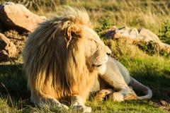 Großer männlicher Löwe, der auf einer afrikanischen Savanne während des Sonnenuntergangs niederlegt Lizenzfreies Stockbild