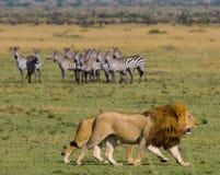 Großer männlicher Löwe mit der herrlichen Mähne geht auf Savanne Chiang Mai kenia tanzania Maasai Mara serengeti Lizenzfreies Stockfoto