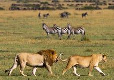 Großer männlicher Löwe mit der herrlichen Mähne geht auf Savanne Chiang Mai kenia tanzania Maasai Mara serengeti Stockfotos