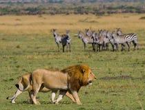 Großer männlicher Löwe mit der herrlichen Mähne geht auf Savanne Chiang Mai kenia tanzania Maasai Mara serengeti Lizenzfreies Stockbild
