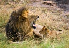 Großer männlicher Löwe mit Jungem Chiang Mai kenia tanzania Masai Mara serengeti Lizenzfreie Stockbilder