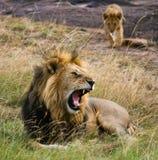 Großer männlicher Löwe mit Jungem Chiang Mai kenia tanzania Masai Mara serengeti Stockbilder