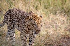 Großer männlicher Leopard, der in das Gras geht Lizenzfreie Stockfotografie