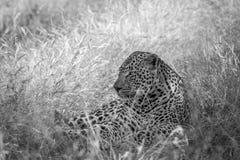 Großer männlicher Leopard, der im Gras niederlegt Stockfotos
