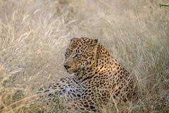 Großer männlicher Leopard, der im Gras niederlegt Stockfoto
