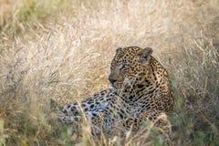 Großer männlicher Leopard, der im Gras niederlegt Lizenzfreie Stockbilder
