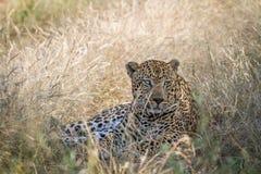 Großer männlicher Leopard, der im Gras niederlegt Lizenzfreies Stockbild