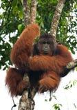 Großer männlicher Orang-Utan auf einem Baum im wilden indonesien Die Insel von Kalimantan Borneo Lizenzfreie Stockfotografie