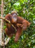 Großer männlicher Orang-Utan auf einem Baum im wilden indonesien Die Insel von Kalimantan Borneo Stockbild