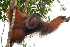 Großer männlicher Orang-Utan auf einem Baum im wilden indonesien Die Insel von Kalimantan Borneo Stockfoto