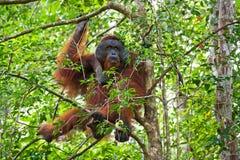 Großer männlicher Orang-Utan auf einem Baum im wilden indonesien Die Insel von Kalimantan u. von x28; Borneo& x29; Stockfotos