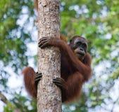 Großer männlicher Orang-Utan auf einem Baum im wilden indonesien Die Insel von Kalimantan u. von x28; Borneo& x29; Lizenzfreie Stockbilder