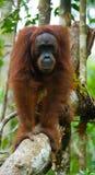 Großer männlicher Orang-Utan auf einem Baum im wilden indonesien Die Insel von Kalimantan u. von x28; Borneo& x29; Lizenzfreies Stockfoto