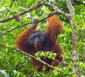 Großer männlicher Orang-Utan auf einem Baum im wilden indonesien Die Insel von Kalimantan u. von x28; Borneo& x29; Stockbilder