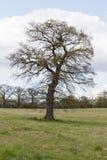 Großer majestätischer Baum im Frühjahr auf Ackerland Stockbild