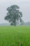 Großer Mangobaum auf dem Reisgebiet stockfotos