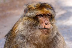 Großer Mann, Barbary-Affe Macaca sylvanus, Marokko Lizenzfreies Stockbild