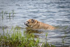 Großer Mann der englischen Bulldogge Stockbild