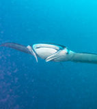 Großer Manta schwimmt nah an der Kamera, Malediven Stockfoto