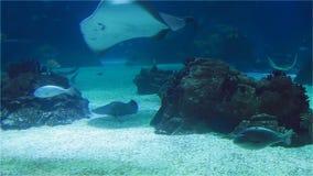 Großer Marinestechrochen und Haifische Viele Fische im Seekorallenriff stock video