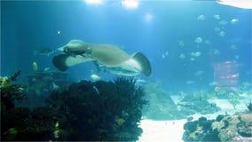 Großer Marinestechrochen und Haifische Viele Fische im Seekorallenriff stock footage