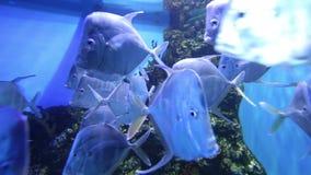 Großer Meeresfisch, Unterwasserleben stock footage