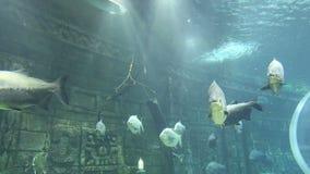 Großer Meeresfisch, Unterwasserleben stock video