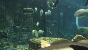 Großer Meeresfisch, Unterwasserleben stock video footage
