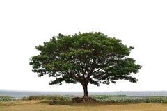 Großer Mimosenbaum stockbilder