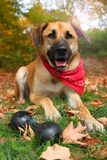 Großer Mischzuchthund im Herbst Stockbilder