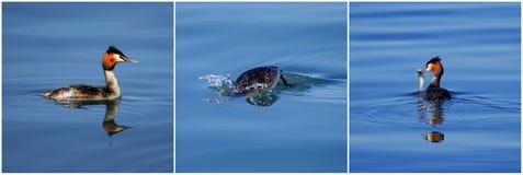Großer mit Haube Grebe mit einem Fisch Lizenzfreie Stockfotografie