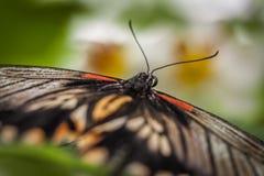 Großer mormonischer Schmetterlingsabschluß oben Stockbilder