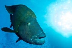 Großer Napoleon Fish Lizenzfreie Stockfotos