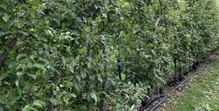 Großer Obstgarten mit Apfelbäumen Stockbilder
