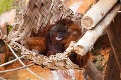 Großer Orang-Utan Stockfoto