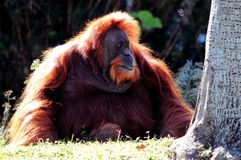 Großer Orang-Utan Lizenzfreie Stockfotografie