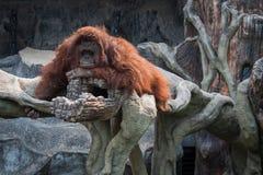 Großer Orang-Utan, der auf dem Stein liegt Stockfotos