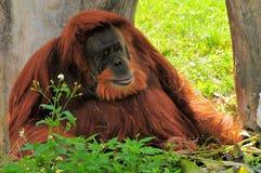 Großer Orang-Utan, der im Schatten sich entspannt Stockbild